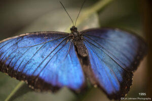 animals wildlife butterfly blue