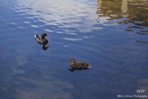 wildlife animals water ducks birds