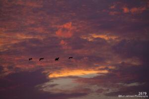 wildlife sky clouds sunset pelicans birds