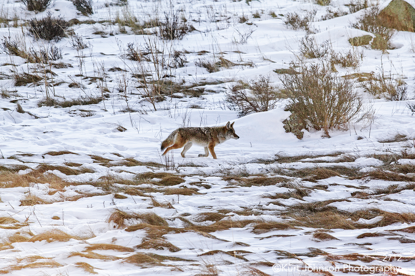 landscape snow winter wolf coyote animal wildlife