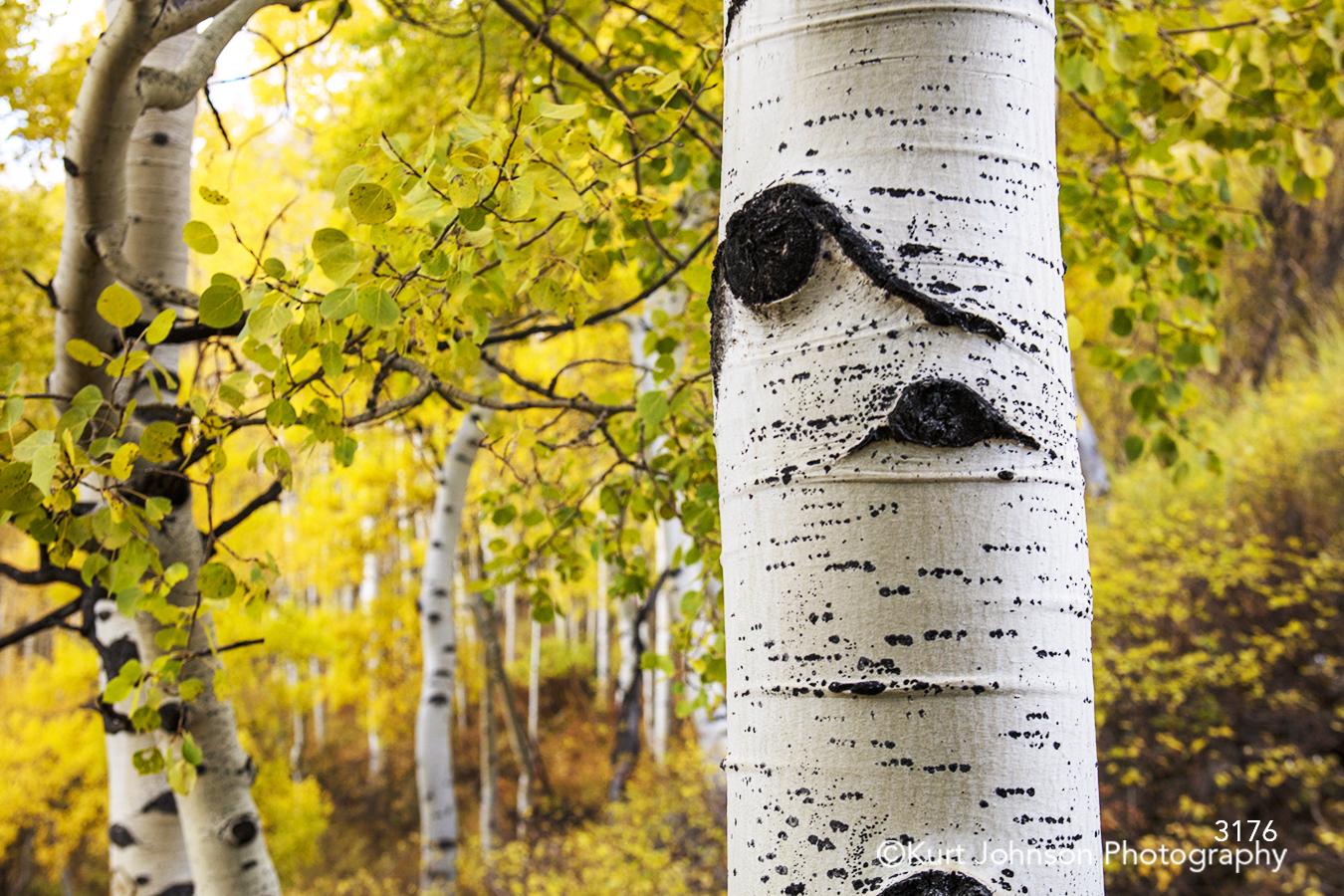 landscape forest birch tree trunk green yellow