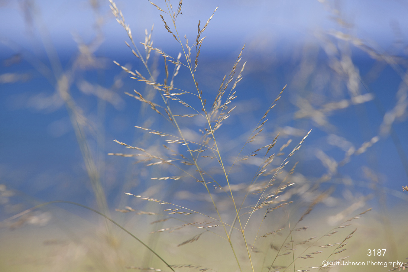 grasses yellow gold blue