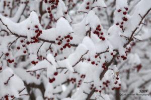 snow winter red berries tree