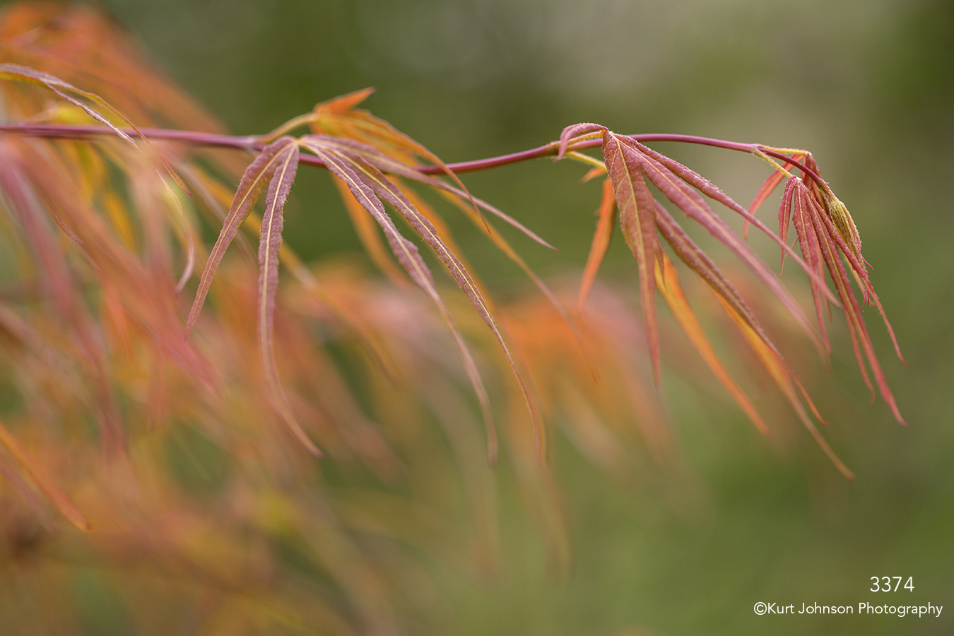 orange red leaves japanese maple