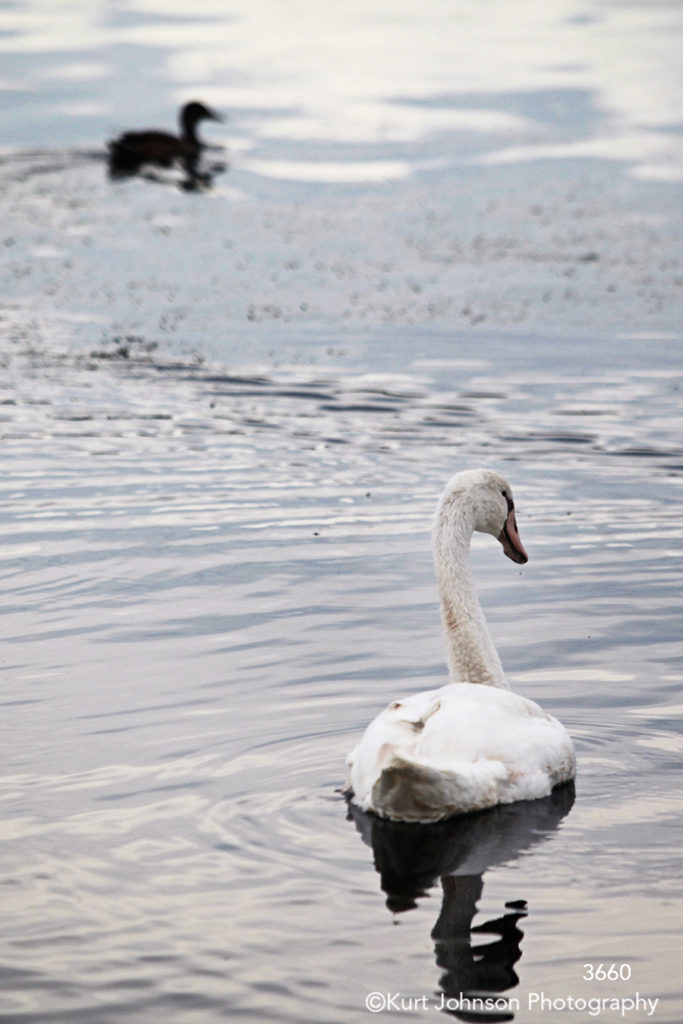 landscape water goose swan