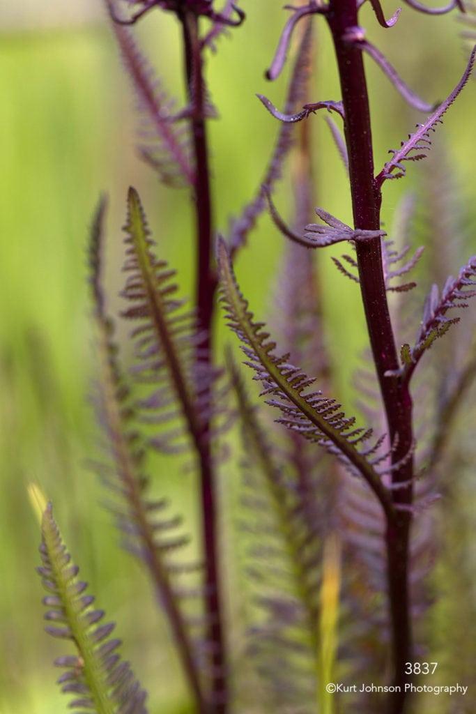 leaves purple green