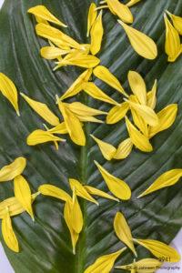 texture yellow green petals leaf