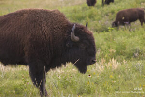 animals wildlife grasses buffalo
