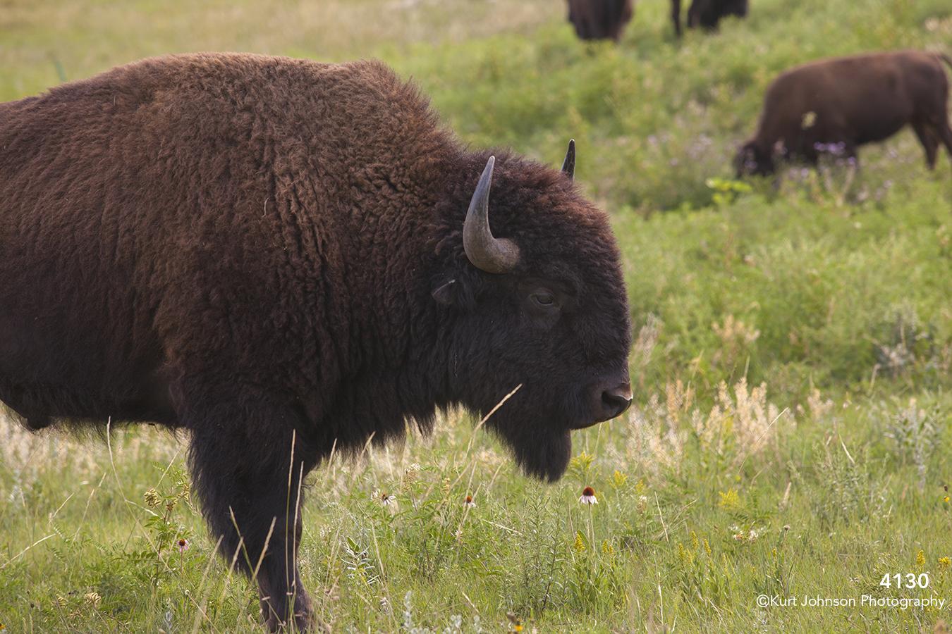 animals wildlife grasses buffalo