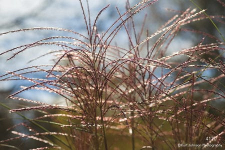 grasses red texture
