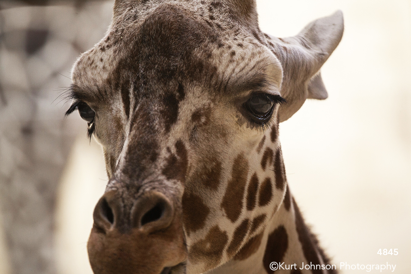 wildlife animal giraffe