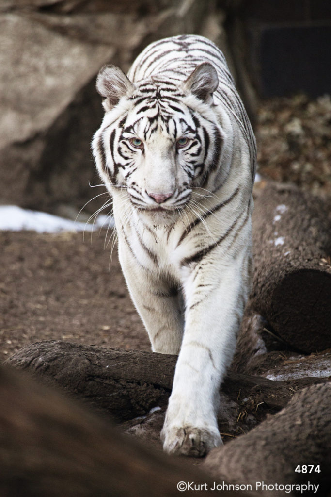wildlife animal snow tiger