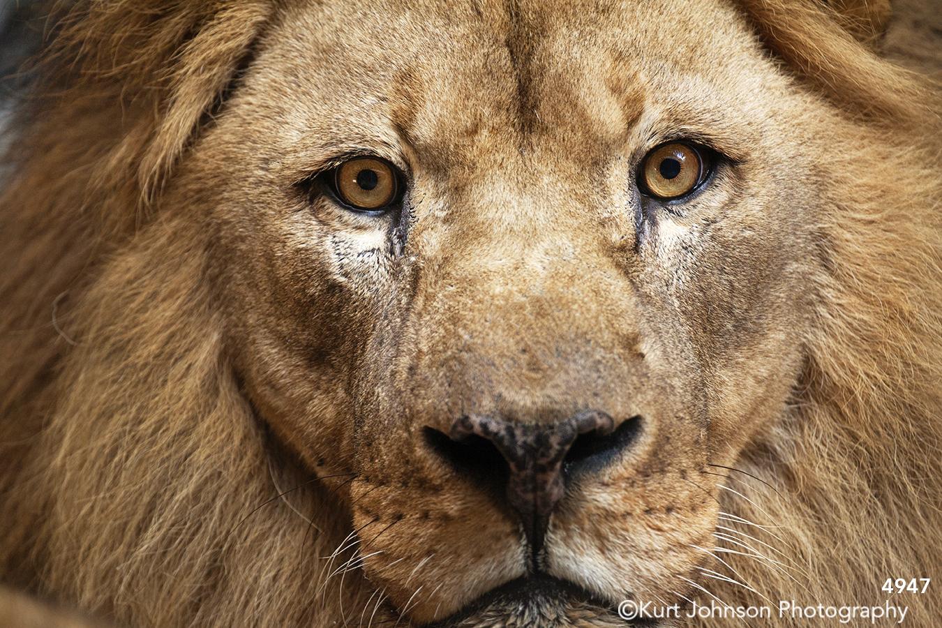 wildlife animal lion