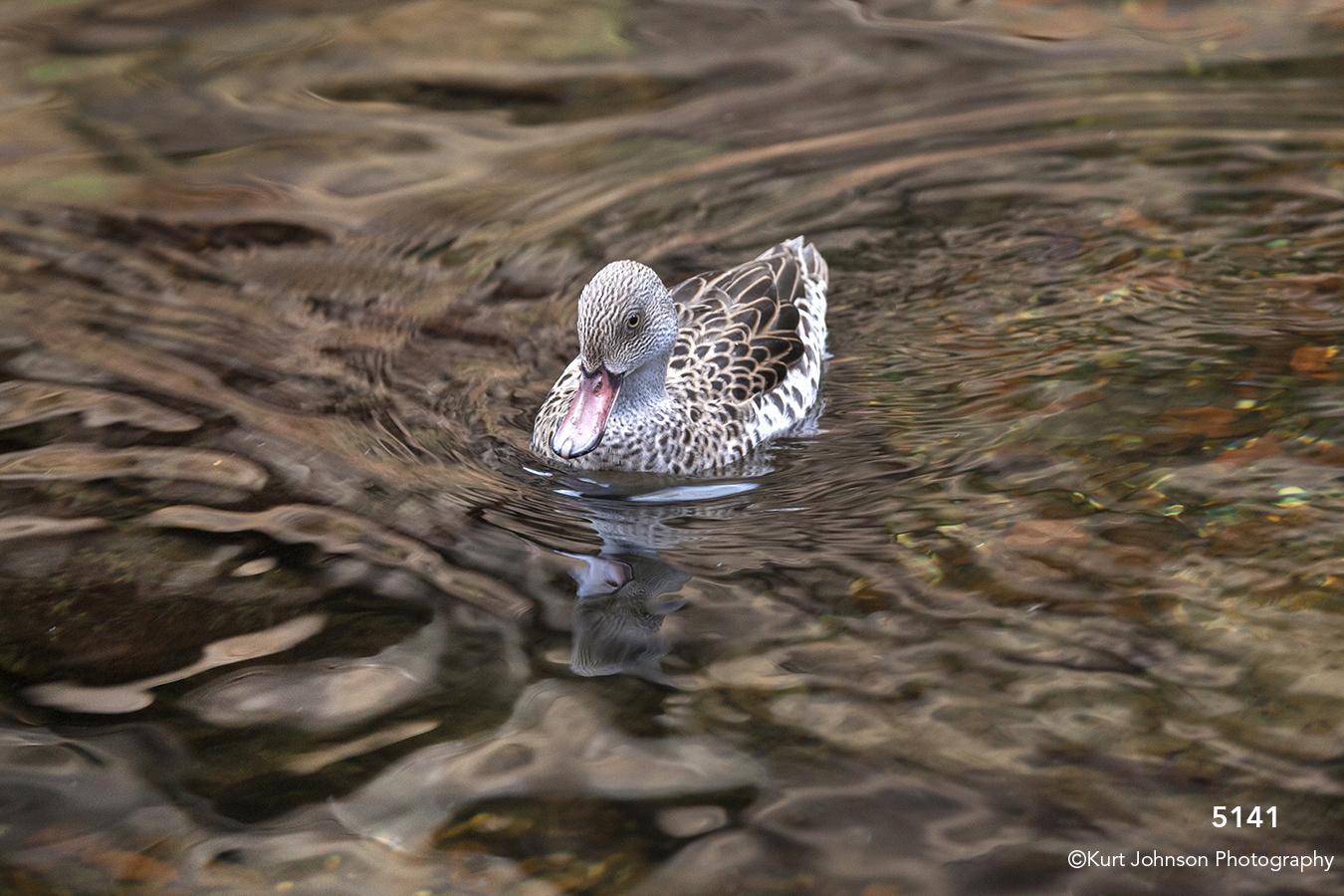 wildlife animal duck water