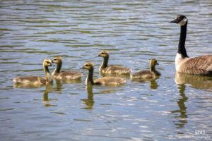 wildlife animal geese water babies