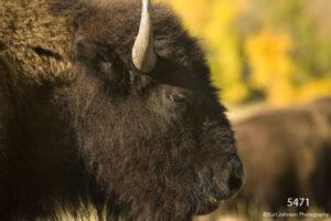 animals wildlife buffalo
