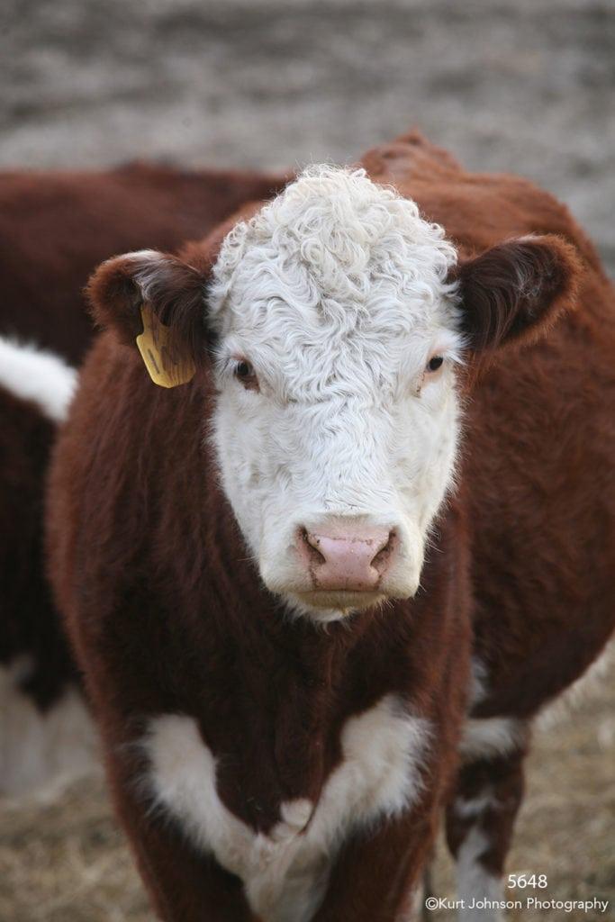wildlife animals cow