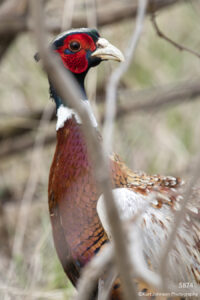wildlife animal bird pheasant