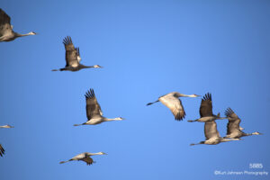 wildlife animals cranes