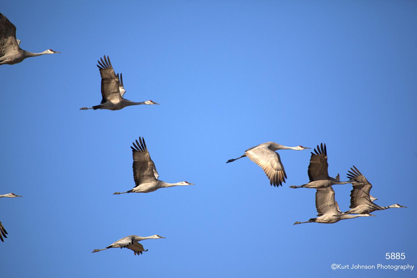 wildlife animals cranes