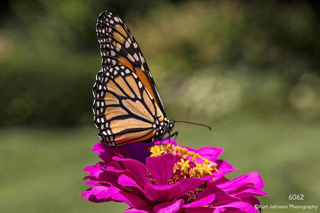 wildlife animals butterfly flower pink