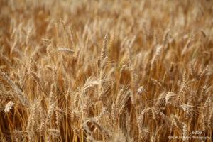 orange brown earthtones wheat grasses