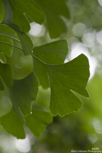 leaves green ginkgo tree