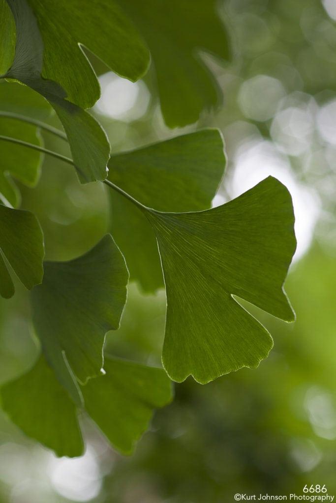 leaves green ginkgo tree