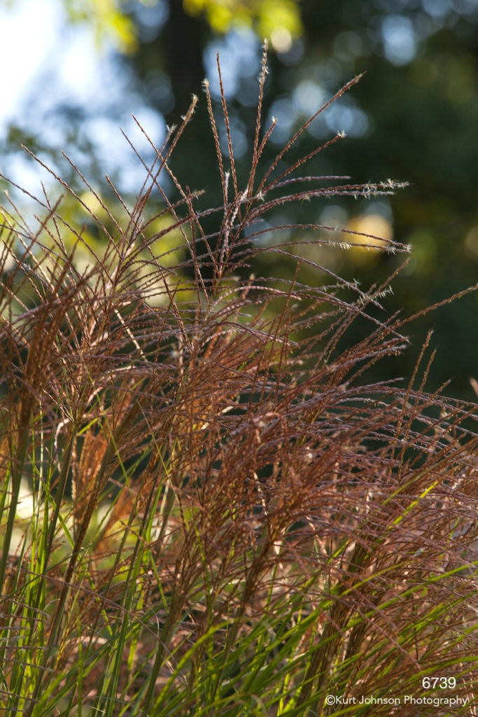 grasses red green