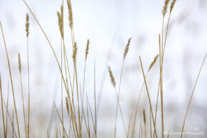 grasses gold yellow