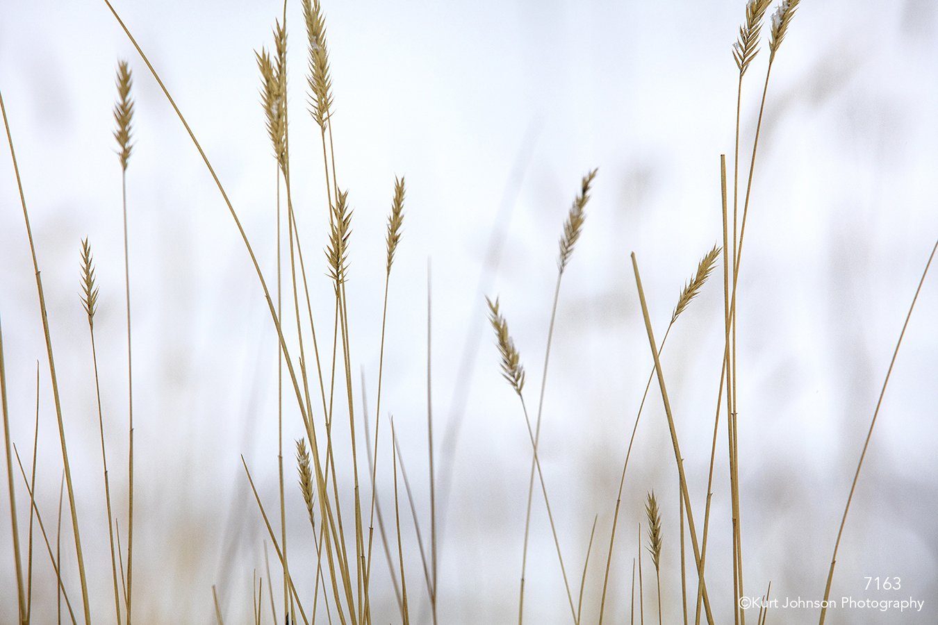 grasses gold yellow