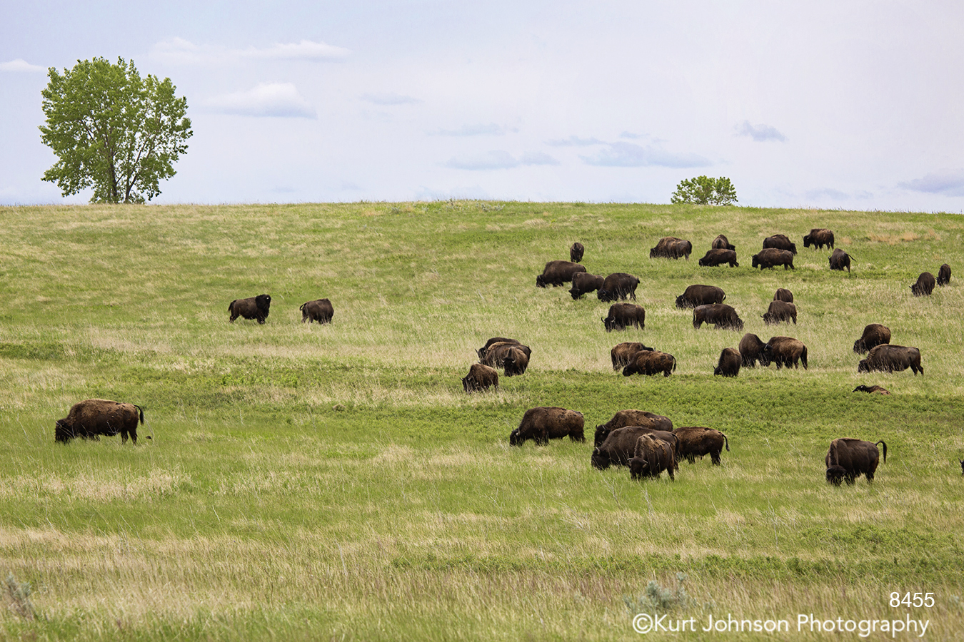 animals wildlife buffalo landscape