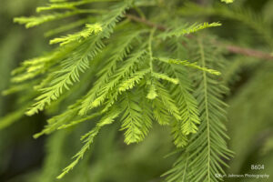 leaves tree pine needles green