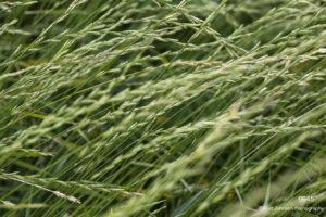 grasses green texture