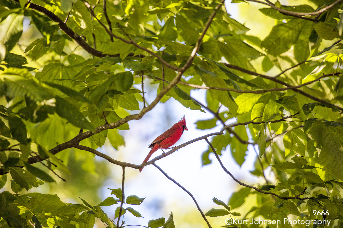 wildlife animal bird cardinal leaves green