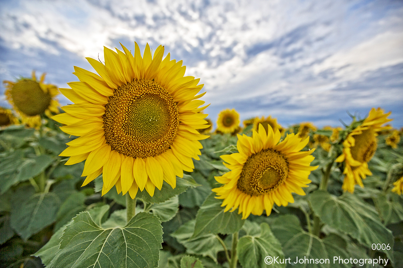 sunflowers landscape sky yellow