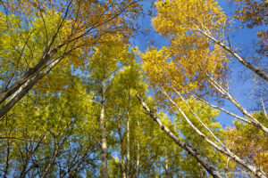 trees tree fall color birch sky