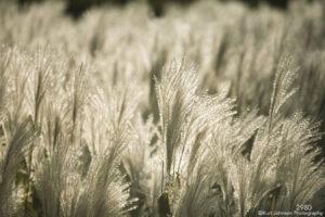 white grass grasses
