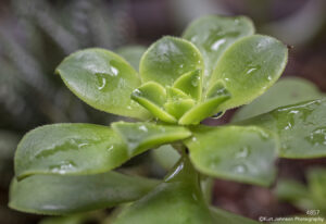 succulent green leaves southwest pacificcoast raindrops