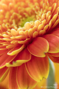 flower orange close up details petals daisy texture