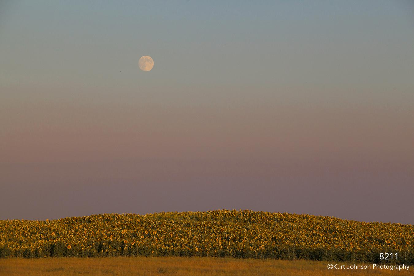 landscape sunflowers moon midwest sunset