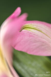 flower petals implied pink