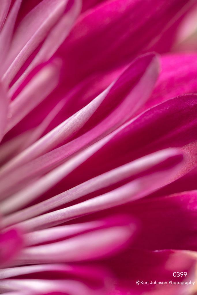 flower petals implied spider mum pink purple