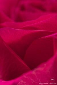 flower petals implied rose pink red texture