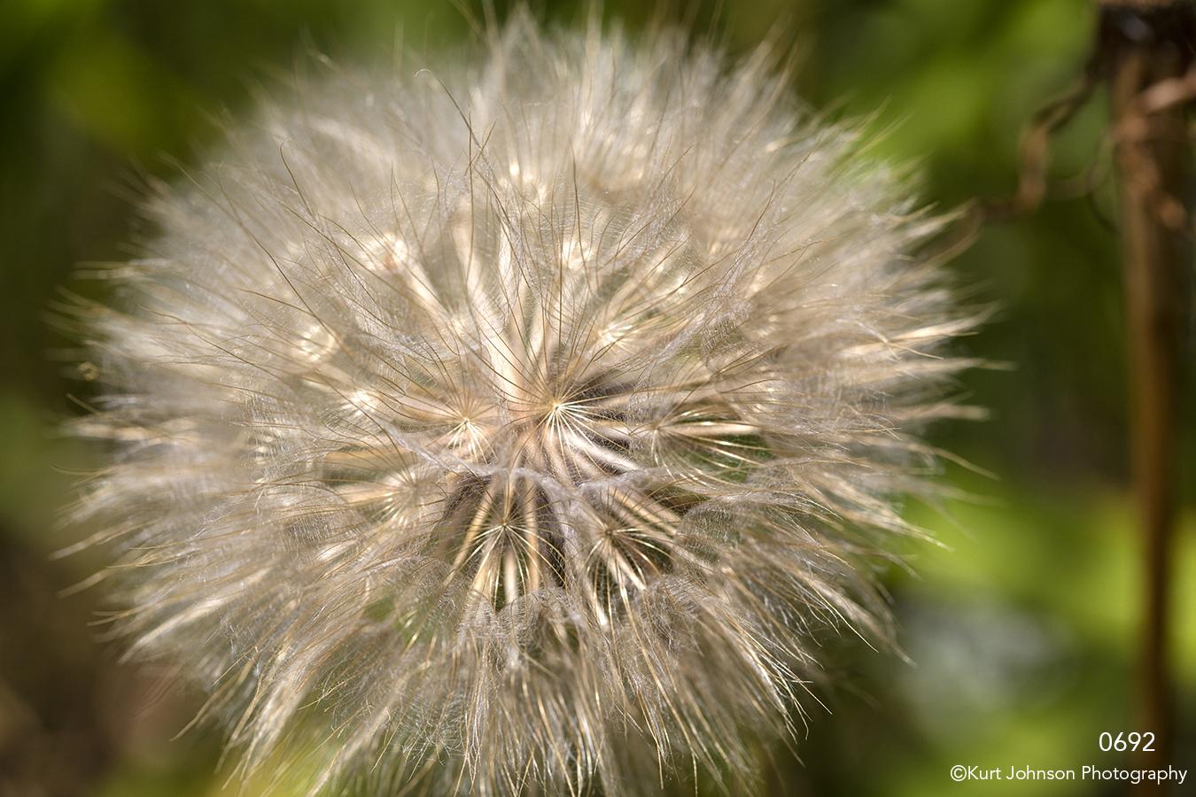 flower dandelion texture