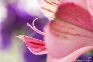 flower petals implied purple pink