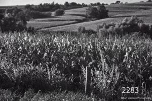 landscape black and white corn fields