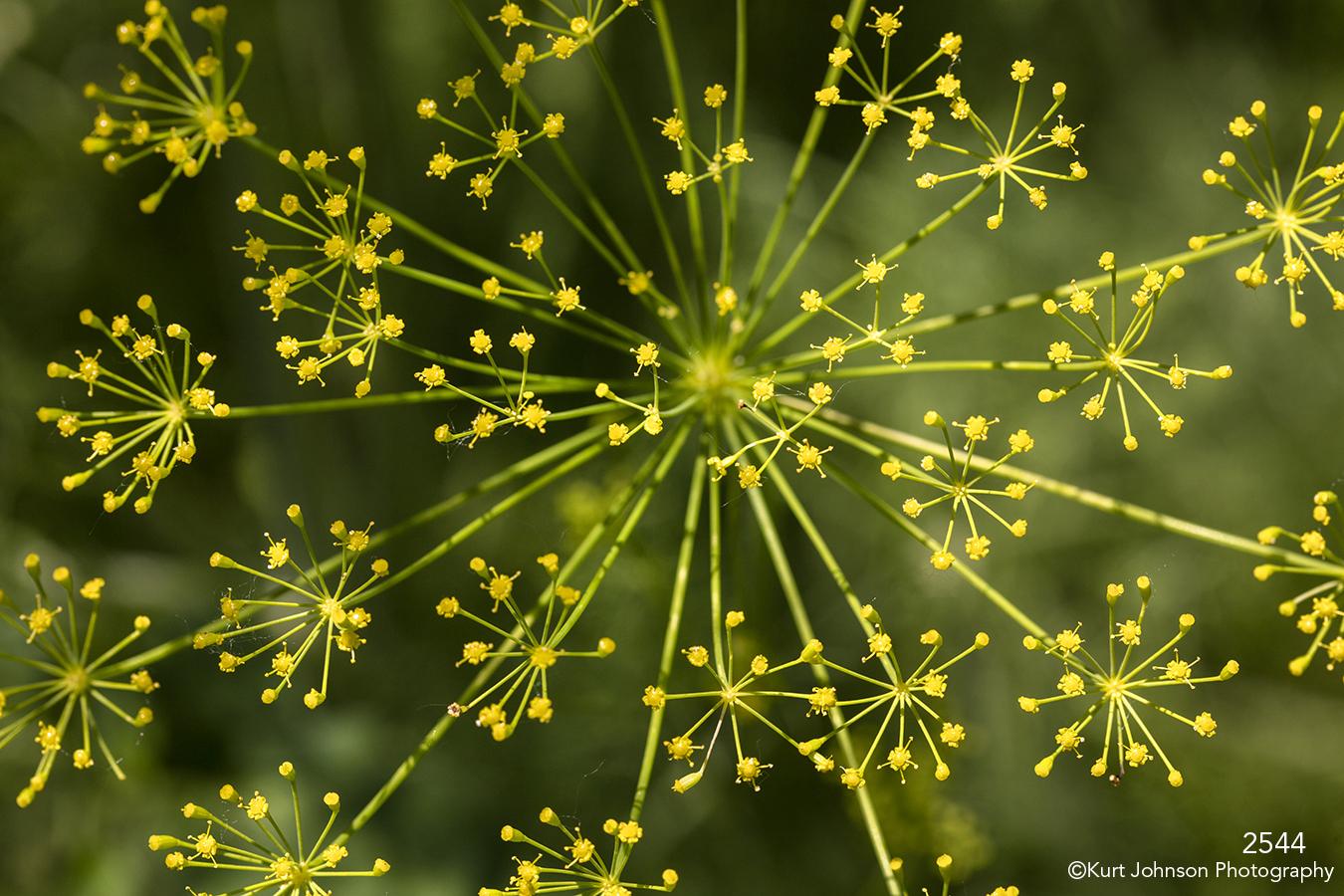 flower flowers yellow dill