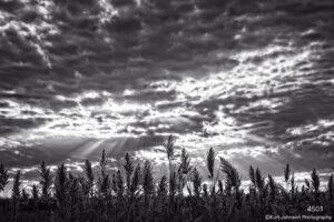 landscape black and white grasses