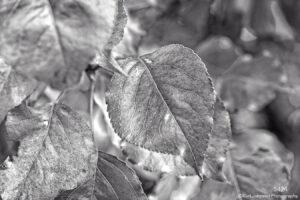 leaf leaves black and white